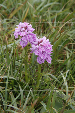 Dactylorhiza maculata Heath spotted orchid