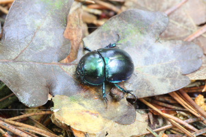 _MG_8189_geotrupes