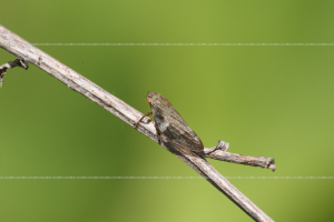 _MG_8878_froghopper
