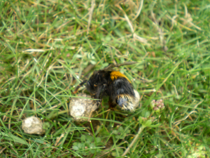 Dead Bombus terrestris found on Ant hill