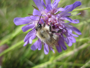 Scabious with Unknown Bumblebee
