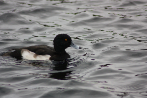 Tufted duck