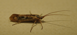 Which species of Limnephilus caddisfly?