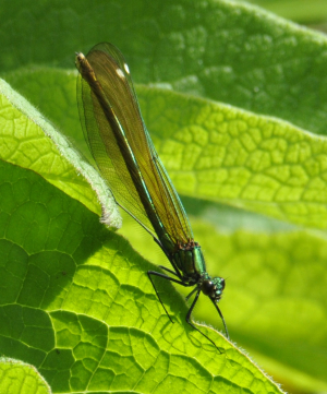 Which Calopteryx species?