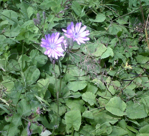 Is this Chicory