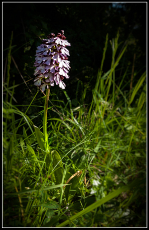 Orchid on banks of the Seine, France