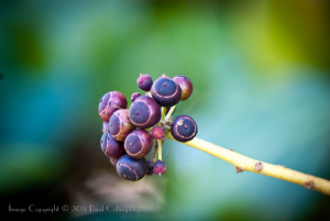 Ivy Fruits, flowers & stems