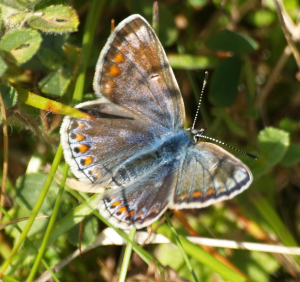Common Blue - without much blue ?