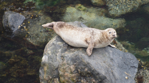 Common Seal (Selkie)