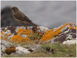 Pipit ?