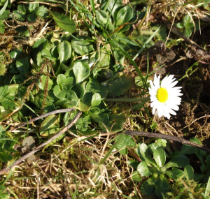 My first Daisy (of the year)