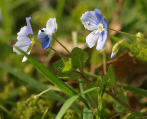 Common Field Speedwell