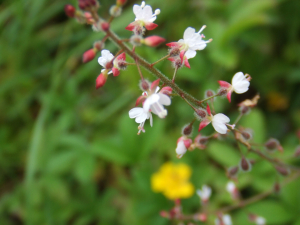 Enchanter's-nightshade