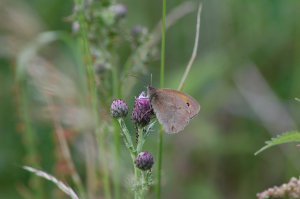 Confirm Butterfly Meadow Brown or Small Heath