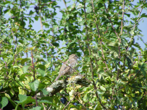 Is this a juvenile crossbill