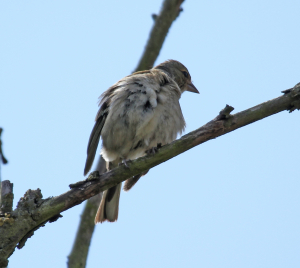 Reed Bunting, female, I think