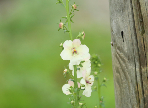 Moth Mullein, White Form