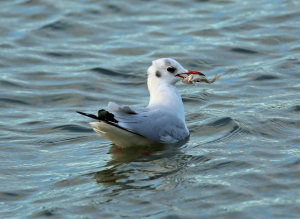 Black Headed Gull and Unfortunate Perch