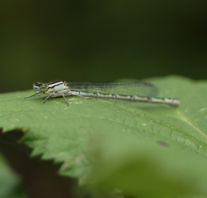 Common Blue Damnselfly, White Form