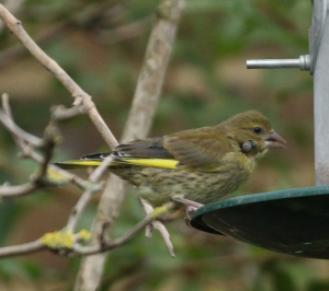 Juvenile Greenfinches with ticks