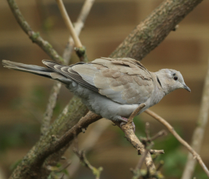 Tick on Collared Dove