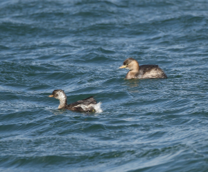 Little Grebes in Choppy Water