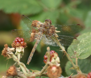 Dragonfly, Common Darter, mature female, Little Paxton, 2011-09-14 002a