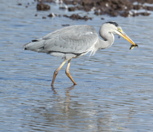 Perch, being eaten by Grey Heron