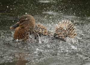 Mallard, female, splashing