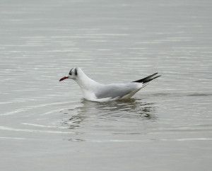Black Headed Gull, unusual markings