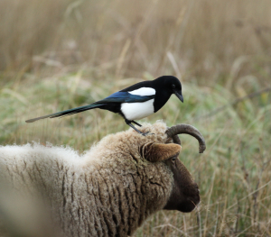 Magpie on Rare Sheep's Head