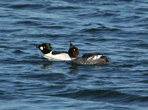 Goldeneye, pair, displaying, Grafham, 2011-12-22 003