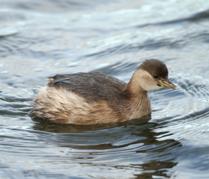 Little Grebe, with possible parasite