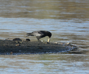 Carrion Crow with Freshwater Mussel