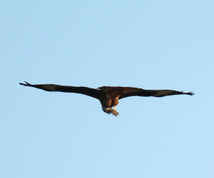 Red Kite carrying  clod of earth