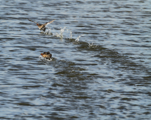 Little Grebe Chase