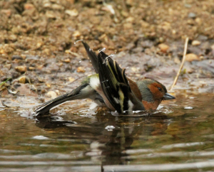 Chaffinch, Male, bathing