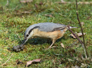 Nuthatch, with sheep dung