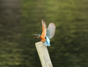 Kingfishers, September Last Year