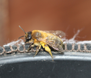 Suspected Honey Bee