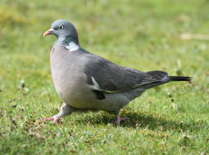 Starlted Wood Pigeon