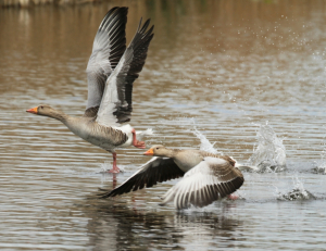 Greylags Taking Off