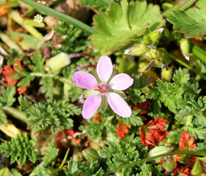 Common Stork's-bill