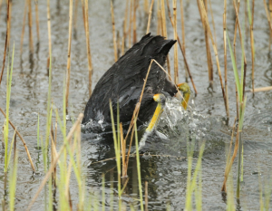 Coot, Diving in Heavy Rasin