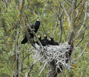 Cormorants, Nesting, with Chicks