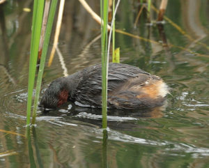 Little Grebe, Scanning for Food