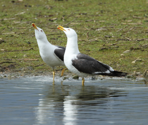 Lesser Black Backed Gulls Posturing to Each Other