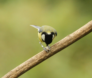 Great Tit with Peanut