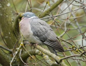 Sleeping Woodpigeon
