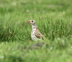 Mistle Thrush, Pale Example